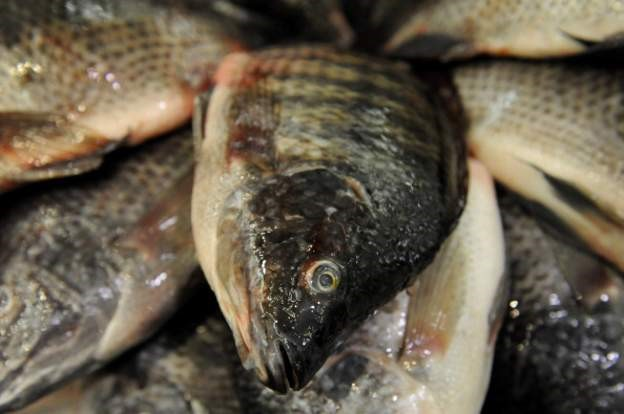 Fish Virus: Ghana bans tilapia fish imports