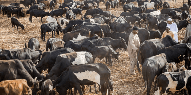 Nigeria to spend N179 billion on cattle ranching